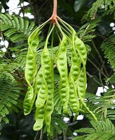 Parkia Speciosa(bitter bean,twisted cluster bean or stink bean). Unusual Plants, Rare Plants, Exotic Fruit, Tropical Fruits, Fruit And Veg, Fruits And Vegetables, Parts Of A Plant, Fruit Art, Seed Pods