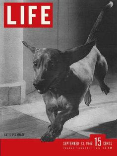 Life Magazine, September 23, 1946 - Dachshund