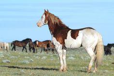 Cute Horses, Pretty Horses, Beautiful Horses, Animals Beautiful, Horse Markings, American Paint Horse, Horse Facts, Wild Mustangs, Horse Girl
