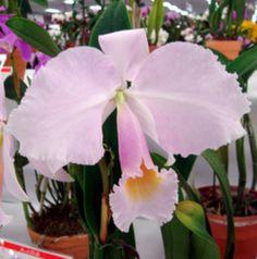Cattleya trianae var. concolor ~ Orchidee