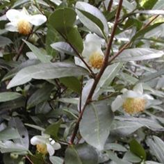 """Camellia sinensis var. sinensis, Small Leaf Tea - with a delicious and mild flavour. $15 (£9 approx.) for a 4-12"""" tall, 1 year grown plant in a 2qt pot."""