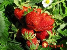 Toto poraďte každému záhradkárovi: O takej úrode jahôd sa vám ani nesnívalo! House Plant Care, Houseplants, Flora, Strawberry, Remedies, Food And Drink, Health Fitness, Home And Garden, Fruit