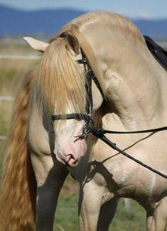 "scarlettjane22: "" Majestic Spanish Horses http://www.freewebs.com/majesticspanishhorses/ """