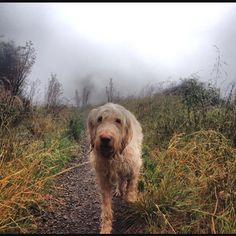 Spinone Italiano, Stella! pushes through the fog on Cold Spring in the mountains of Santa Barbara