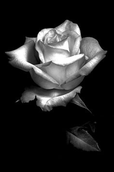 Rose white flower pictures, rose pictures, black and white pictures, rose video, Black And White Roses, Black And White Aesthetic, Black Flowers, Black And White Pictures, White Art, Black Swan, Rose Tattoos, Flower Tattoos, Amazing Flowers