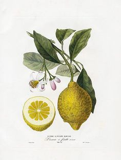 Poiteau & Risso Antique Fruit Prints 1818 Oranges & Lemons