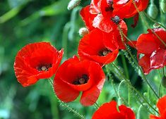 Just bought a poppy plant to grow in a container garden on my deck.