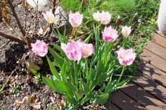 Add more fringed tulips
