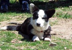 Cardigan Welsh Corgi. They are members of the herding group. They are great  cattle dogs and all-purpose farm dogs. They stand at 10 1/2-12 1/2 inches at the shoulder and weigh about 25-38 pounds.