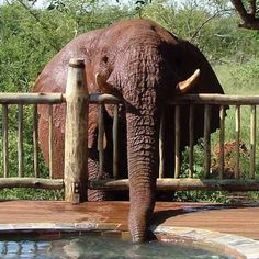 For weeks, the mystery of the leaking jacuzzi has baffled workers at the Etali Safari Lodge in South Africa. But the answer has been found – and her name is Troublesome