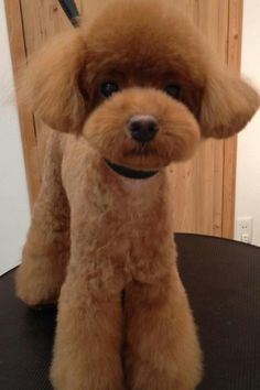 Red poodle cute