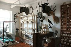 Taxidermist Philipp Shulz and partner Julia Jaki have opened what is perhaps South Africa's first Natural History shop, at the Woodstock Foundry. Trophy Rooms, Cabinet Of Curiosities, African Design, Taxidermy, Natural History, Antlers, Horns, Nature, Projects