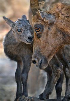Bighorn Sheep calf by Ion Moe