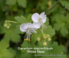 Geranium macrorrhizum 'White Ness'