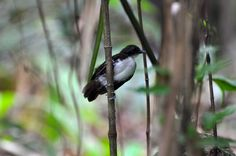 Bicolored Antbird. Panama (Click to story about army ants, which is how we found this bird.)