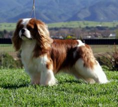 """The Cavalier King Charles Spaniel, a European court favorite from as early as the 15th century, is often referred to as the """"comforter spaniel"""" because of its sweet, loving nature. Cavaliers are bred to be companions and their favorite place to be is with their family either on a lap or by their side. Cavaliers are depicted in the paintings of Gainsborough, Landseer, Van Dyck and others, usually always with their family members. This lovely small spaniel is not only pretty to look at; he is…"""