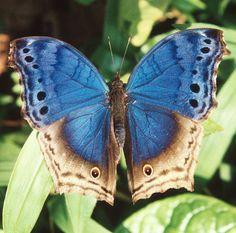 bwindi butterfly | Bwindi Butterfly- Protogoniomorpha temora | Flickr - Photo Sharing!