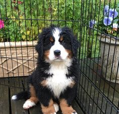 Hottest Pictures bernese mountain dogs haircut Thoughts For over ages, the particular Bernese Huge batch Pet has become a basis involving town daily life insid Havanese Dogs, Pet Dogs, Dog Cat, Pets, Doggies, Baby Puppies, Dogs And Puppies, Cute Puppies, Bernedoodle Puppy