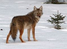 Our coyote hunting tips and strategies will increase your chances while hunting the wily coyote. Learn from our years of experience while hunting coyotes.