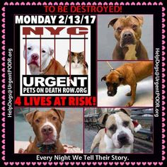TO BE DESTROYED 02/13/17 - - Info    To rescue a Death Row Dog, Please read this:http://information.urgentpodr.org/adoption-info-and-list-of-rescues/   To view the full album, please click here: http://nycdogs.urgentpodr.org/tbd-dogs-page/ -  Click for info & Current Status: http://nycdogs.urgentpodr.org/to-be-destroyed-4915/