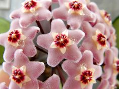 Hoya Carnosa  Very unusual plant.Saw it 30yrs ago,  just found it online. Check it out!