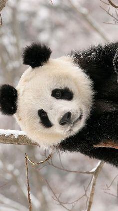 1080x1920 Wallpaper panda, branch, sit, snow
