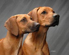 "Rhodesian Ridgebacks or ""lionhounds"""