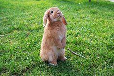 Merlin being very tall! Funny Bunnies, Cute Bunny, Little Bunny Foo Foo, Funny Animals, Cute Animals, Honey Bunny, All Things Cute, Little Darlings, Rabbits