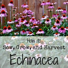 How to Sow, Grow, and Harvest Echinacea