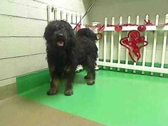 A418155 URGENT AT MORENO VALLEY is an adoptable Tibetan Terrier Dog in Moreno Valley, CA. If you are in the north San Diego County area and would like to become an approved foster home, please inquire...