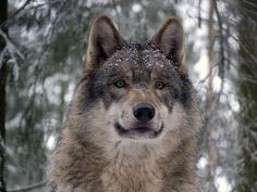 Wolves Know Based on Looks Where Something's Hiding : Discovery News