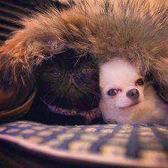 mikimikan  Maru and kintaro ぬくぬく~ #dogslife#dogstagram#dogoftheday#dog#chihuahuastagram#chihuahuaoftheday#chihuahua#cutepet#petstagram#puppy#catstagram#catoftheday#catlover#cats#kitten#exoticshorthair#わんこ#いぬ#犬#イヌ#チワワ#ねこ#猫#ネコ#エキゾチックショートヘア