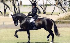 Vlaamperd. The stallions are always black, though mares may be dark brown. They are used for both riding and work in harness.