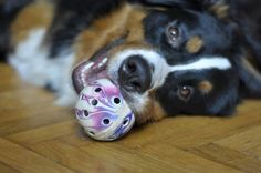 • Cleopatra with a ball - Bernese mountain dog - 11 months old
