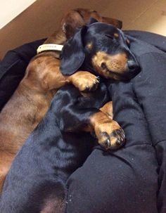 #Doxie Love