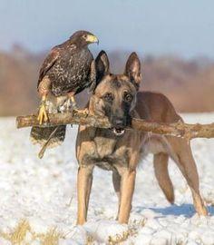 The Odd Couple~ Eagle and German Shepherd