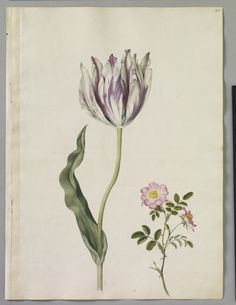 Alexander Marshal (c. 1620-82). A page of watercolours of two flowers including: a new Widow Tulip and an Eglantine - sprig of wild Rose.