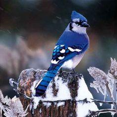 Image Search Results for blue jay bird pictures Pretty Birds, Love Birds, Beautiful Birds, Animals Beautiful, Beautiful Places, Exotic Birds, Colorful Birds, Jay Azul, Blue Jay Bird