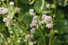 How to Grow Valerian Root From Seeds