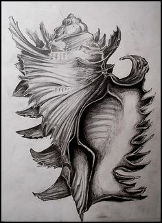 Shell drawing by John Brinegar - I don't think I have ever seen one of these type's of shells in person, but seeing this just give's me a little insight to what it may actually look like. It is accurately drawn, and the tone that has been used, gives me a good sense of the how the light would have been shining.