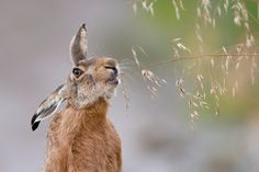 Credit: Leopold Kanzler GDT European Wildlife Photographer Mammals highly commended: The gourmet by Leopold Kanzler, . Animals Images, Animals And Pets, Animal Pictures, Cute Animals, Nature Animals, Hare Images, Wild Animals, Wild Rabbit, Rabbit Art