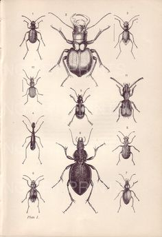 Antique Insect Print, Vintage Beetle Print, Antique Kirby Bookplate, Black and White Lithograph Plate 1 on Etsy, $12.00