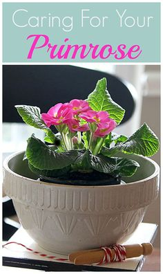 Primrose | plant care | how to grow | caring for