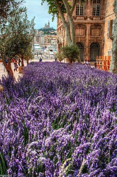 Marseille ~ France... this is how I'm hoping my back garden lavender will look in summer
