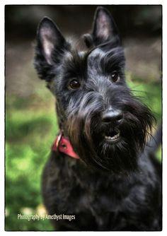 Scottish Terrier - Love their little faces! Scottish Terrier Puppy, Terrier Dogs, Cute Dogs Breeds, Dog Breeds, Scottie Dogs, Cairns, Puppys, Westies, Little Dogs