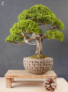10 Confucius Say Bonsai Ideas Bonsai Bonsai Tools Confucius Say