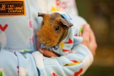Rio the guinea pig, from Whitehouse Farm in Morpeth, Northumberland, doesn't have to worry about the cold anymore as he has a new snuggly sleep suit. Concerned for Rio's health, staff at the farm joined forces with the All-in-One-Company, who specialise in one-piece snugglewear, to get Rio his very own Onesie. Picture: CATERS