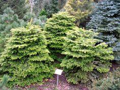 Abies nordmanniana Barabits Compact Plants, Arbor, Herbs, Conifers, Rhododendron, Garden, Dwarf Conifers