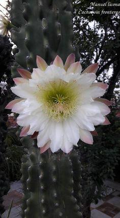 Cereus peruvianus var monstruoso / Cactus sin fronteras / Manuel Licona