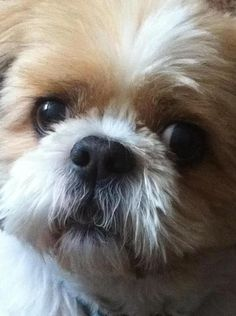 Up close and personal #ShihTzu